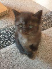 Süße Kätzchen reserviert