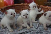 Verschmuste BKH Kitten suchen neue