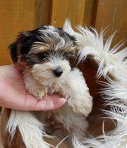 Biewer Golddust Yorkshire Terrier