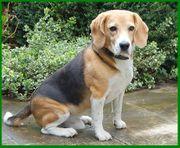 Sir Freddy 6 Jahre - Beagle -