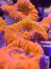 Meerwasser Anemonen Korallen SPS LPS