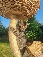 Zuchtauflösung Bengal Kitten männlich und