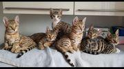 Kitten Bengal EKH-Mix -abgabebereit-