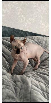 Elf Sphynx Canadian Kitten