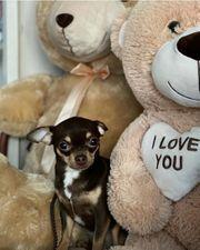 Chihuahua Welpen 3 Rüden und
