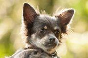 Trixilein 1 Jahr - Chihuahua - Tierhilfe