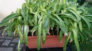 Schmucklilie