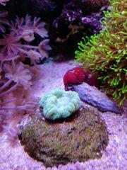 Korallen LPS Weichkorallen fürs Meerwasser