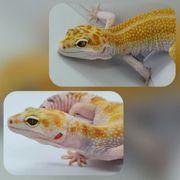 Angebot White Yellow Leopardgecko Zuchtpärchen