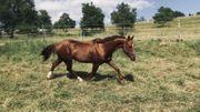 schöne und atemberaubende Quarter Horse