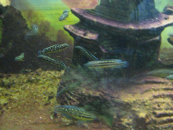 Schachbrettcichliden - Julidochromis - Tanganjikasee