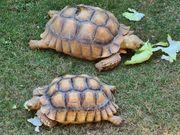 2 Spornschildkröten Centrochelys sulcata gegen