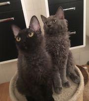 Seltene Sphinx- die süßen Kätzchen