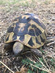 Schildkröten Griechische Landschildkröte