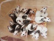 Futtermäuse Vielzitzenmäuse Maus Mäuse VZM