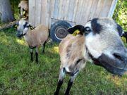 Kamerunschafe Schaf Schafbock zu verkaufen