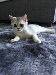 Kitten Britisch Kurzhaar BKH Kater