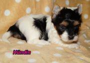 Reinrassige Biewer-Yorkshire-Terrier Welpen
