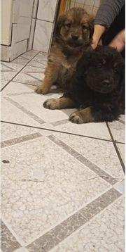 Goldenretriever-Langhaarschäferhund Mischling