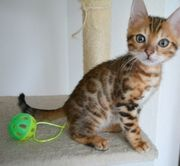 Bengal Kitten brown spotted tabby