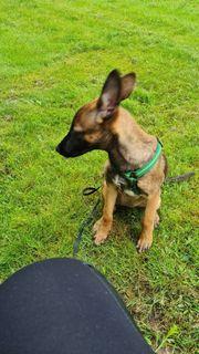 belgiche scheferhund