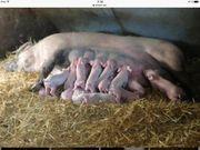 Verkaufe Mutter Sau Landrasse Edelschwein