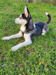 Husky welpe