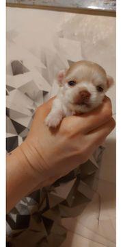 Chihuahua Welpe Rüde zu verkaufen