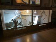 Zwei Bartagamen Terrarium