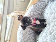 Chihuahua Mischlinge