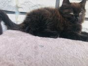 Braun- schwarz -getigerte Babykatze abzugeben