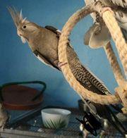 Weißkopf Nymphensittich Henne
