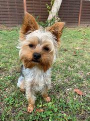Deckrüde Yorkshire Terrier Kein Verkauf