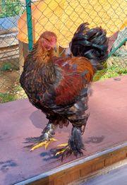 Große Brahma Gockel rebhuhnfarbig gebändertvon