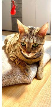 Bengal BKH Mix Katze geimpft
