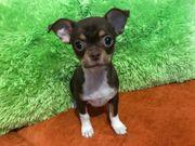 2 Chihuahua Welpen suchen ein