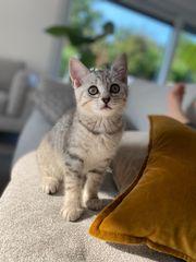 Süße BKH Kitten Mitte August