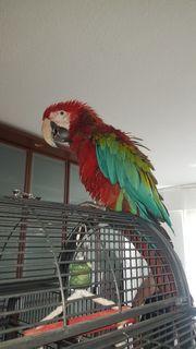 papagei dunkelrot ara