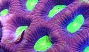10 Korallen Inkl Gratis Tierversand