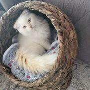 BKH-Kitten Kater 16 Wochen