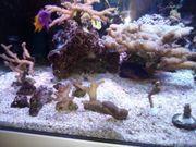 Meerwasser SPS und LPS Korallen