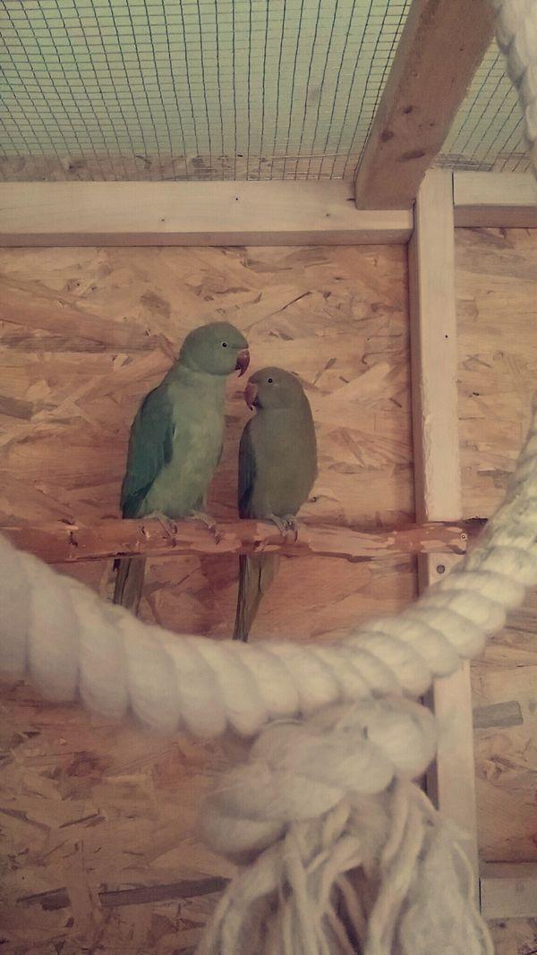 Ein beringtes Halsbandsittich-Paar