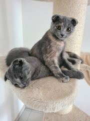 Bkh Scottish Fold Kitten Abgabebereit