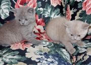 Sensationell Britisch Kurzhaar BKH Katzenbabies