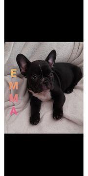 Französische Bulldogge Welpen-baby