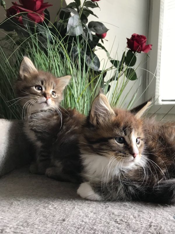 Süße XXL Maine Coon Kitten