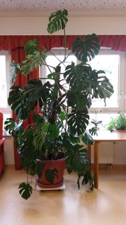Pflanze philodendron