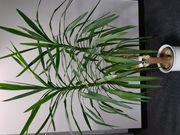 Yucca Palme ca 1 65