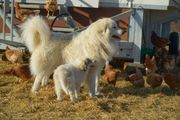 Ausgebildete Herdenschutzhunde Reinrassige Pyrenäenberghunde