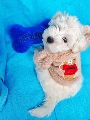 Mini Malteser mit Babyface